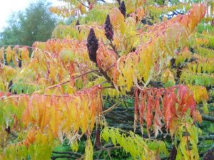 Rhus typhina 'Laciniata'. Photo by Tony Garn