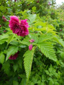 Rubus spectabilis 'Olympic Double'. Photo by Tony Garn