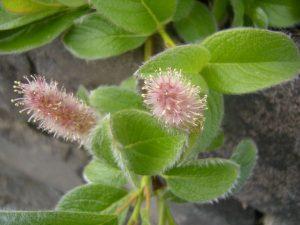 Salix sphenophyllum. Photo by Tony Garn