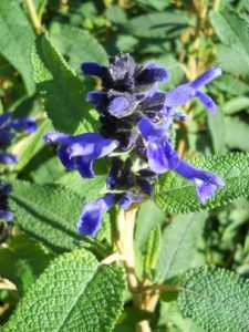 Salvia corrugata. Photo by Tony Garn
