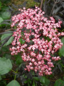 Sambucus nigra 'Black Lace'. Photo by Tony Garn