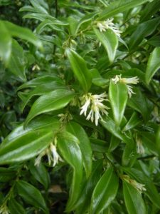Sarcococca confusa. Photo by Tony Garn