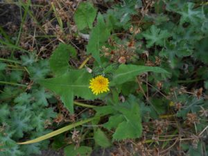 Smooth Sow Thistle, Sonchus oleraceus. Photo by Tony Garn