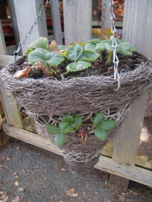 Strawberry Planter. Photo by Tony Garn
