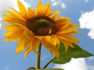 Sunflower, 16 August 2013. Photo by Tony Garn