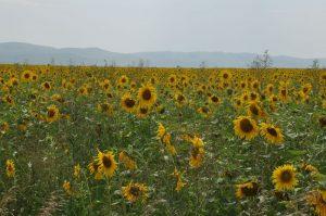 Sunflowers Nr Barnaul Alti Krai Russia July 2013. Photo by JMM