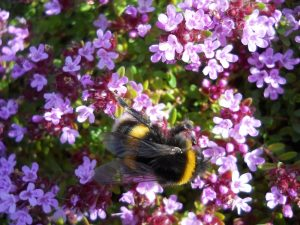 Thymus praecox ssp. polytrichus and Bombus sp. Photo by Tony Garn