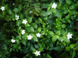 Vinca difformis. Photo by Tony Garn