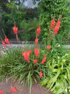 Watsonia pillansii. Photo by Tony Garn