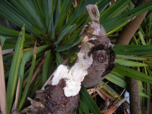 Yucca elata - fibre. Photo by Tony Garn