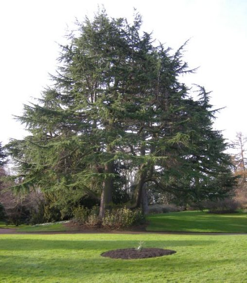 Cedrus deodara and new planting of Cedrus libanii