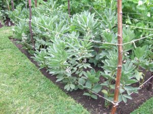 10. Broad beans