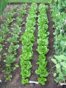 8. Lettuce
