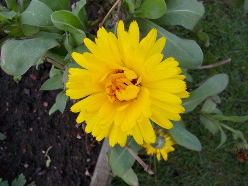 Calendula cv.