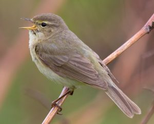 Chiffchaff by Andreas Trepte