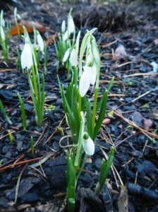 Galanthus 'Anglesey Abbey'