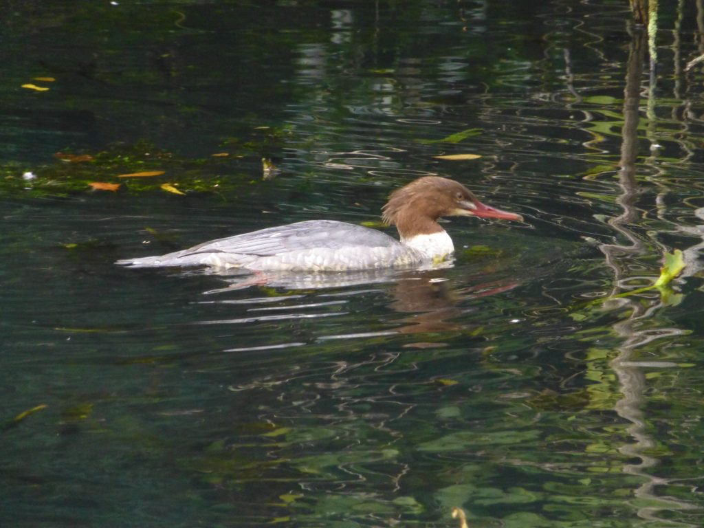 Goosander on Pond, 28 October 2013
