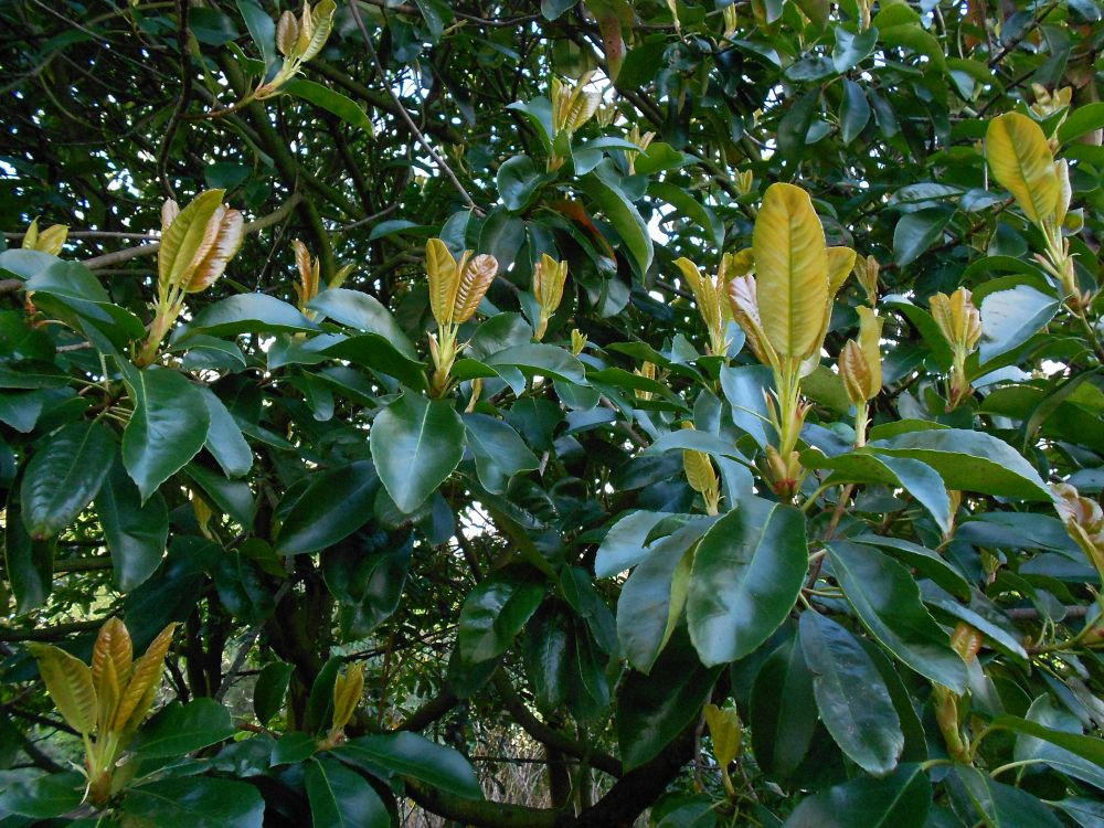 Photinia serratifolia 19890657A