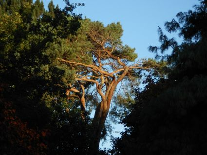 The national tree, Scots Pine : Pinus sylvestris