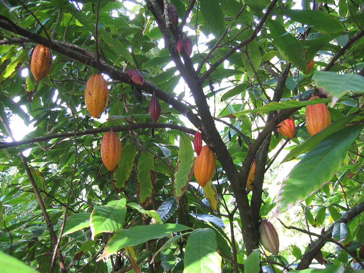 Glasshouse Plant Profile: Theobroma cacao L. – Botanics ...
