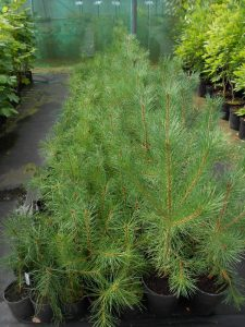 Young Pinus sylvestris plants