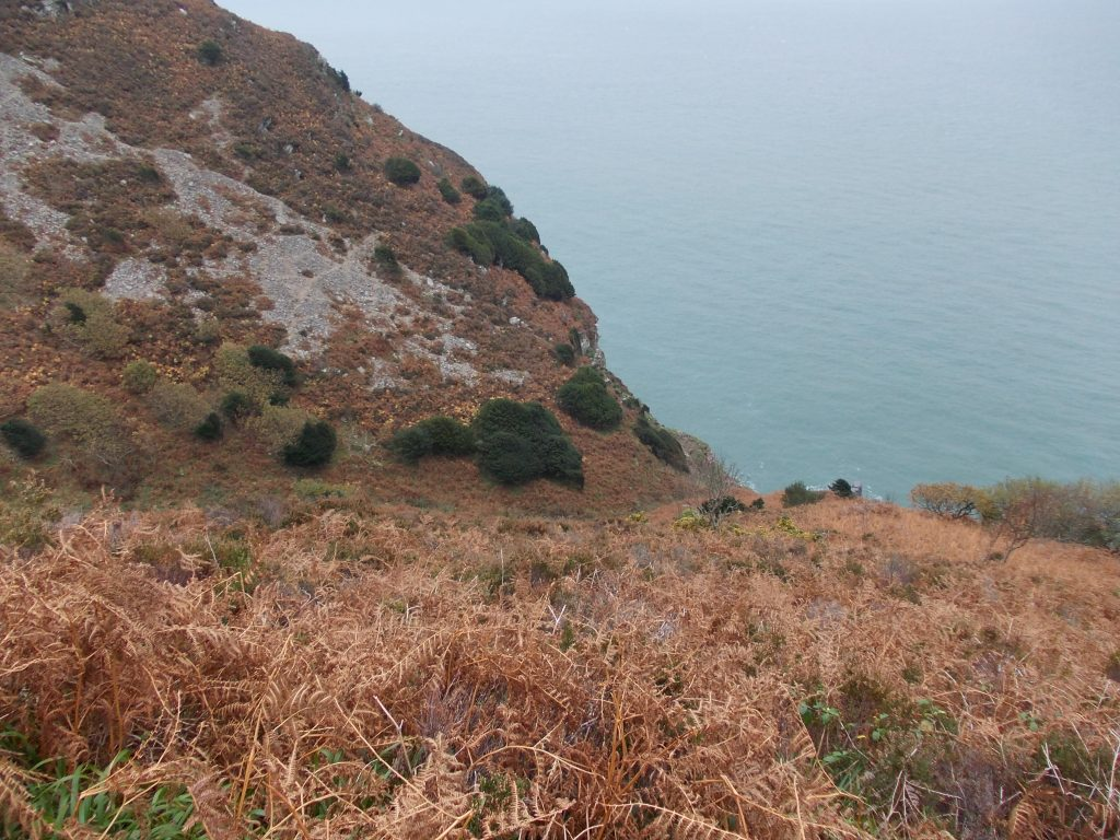 Refuge Taxus baccata population in Hollow Combe, North Devon, being pushed into the sea by grazing pressure.