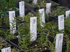 Yew cuttings taken from heritage trees