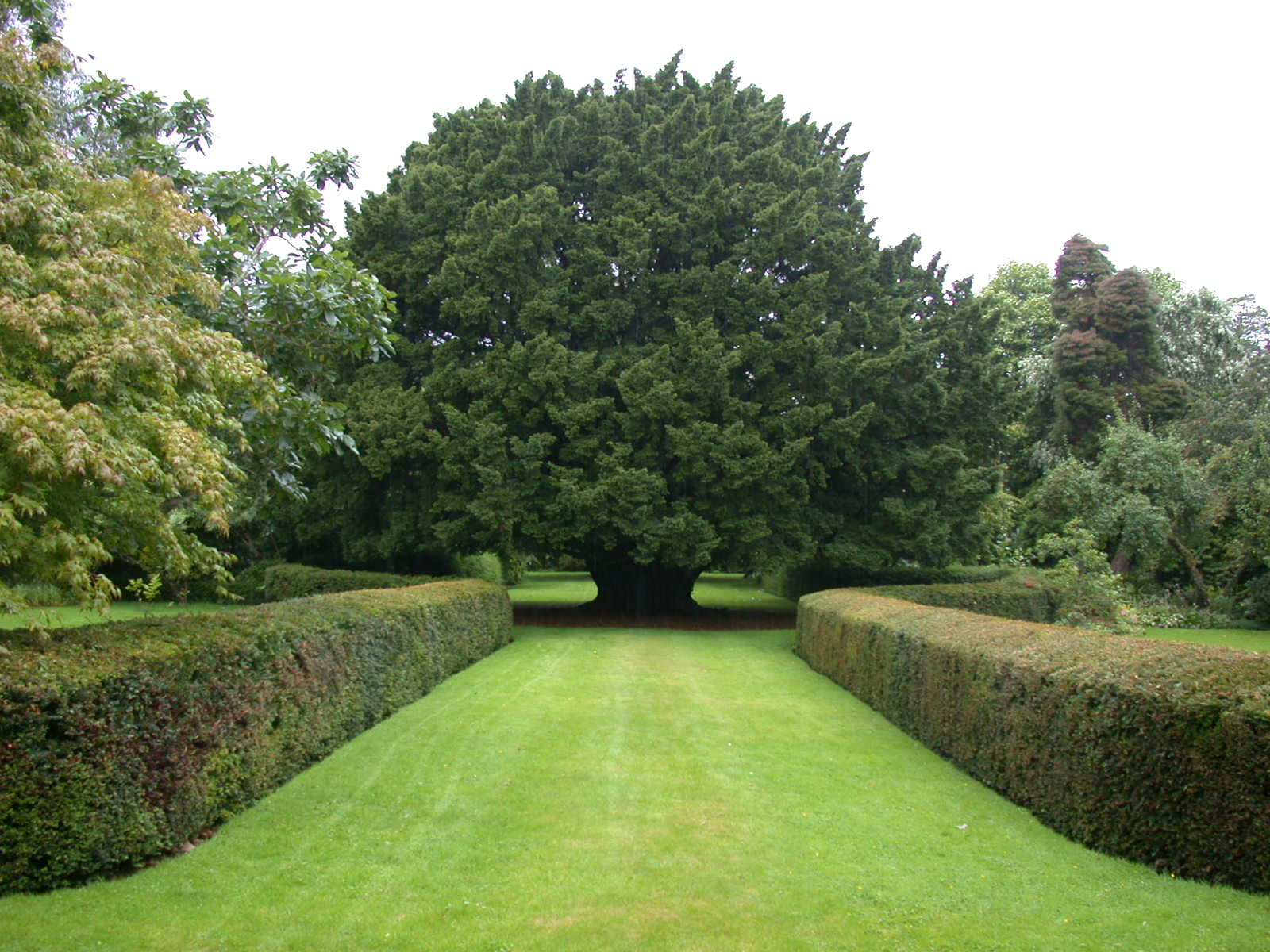 Yew hedge botanics stories for House garden trees