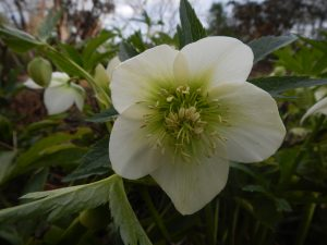 The noraml flower colour for Helleborus orientalis
