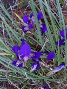 Iris unguicularis ssp. cretensis 19750060A 1 popup