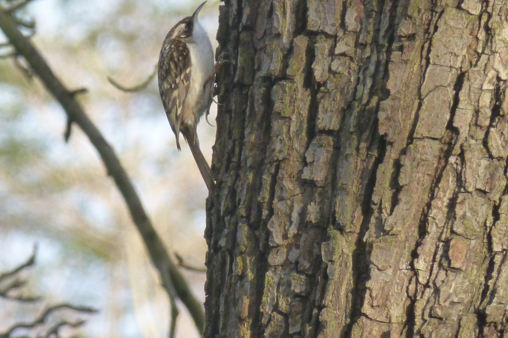 Tree Creeper Certhia familiaris climbing bark, 15 January