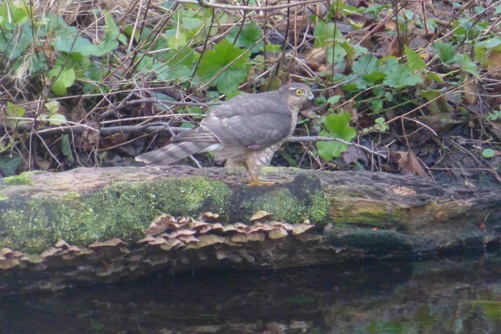 Female Sparrowhawk on log, Chinese Hillside 6 February 2014