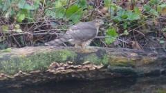 Botanics Sparrowhawks - Species Reproduction