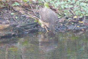 Female Sparrowhawk drinking, Chinese Hillside Pond, 6 February