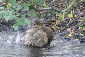 Female Sparrowhawk bathing, Chinese Hillside 6 February