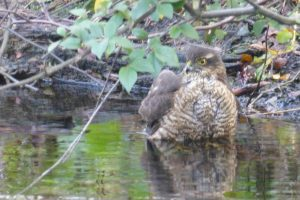 Female Sparrowhawk - end of a long bath!