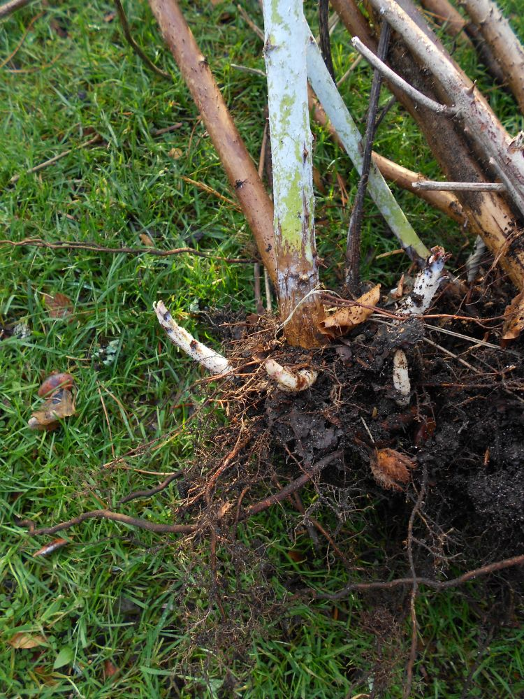 POPUP 4 Rubus sp. 19913225C CEE45 rootstock to divide