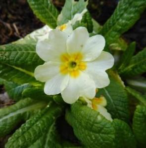 Primula vulgaris ssp. vulgaris 19651473A comp