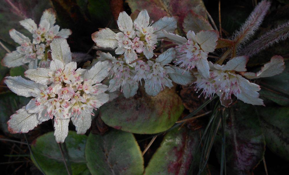 Chrysoplenium maesphyllum inflorescence