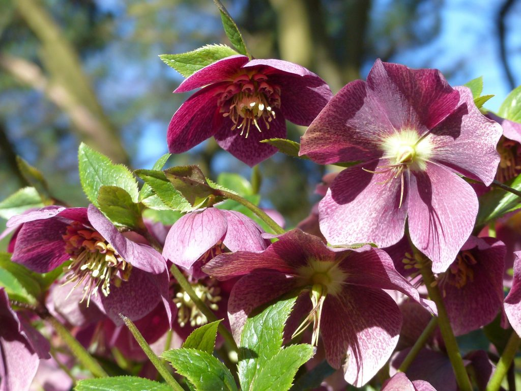 Helleborus orientalis 'Winter Queen' 20050435 A