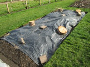 Warming the soil with black plastic