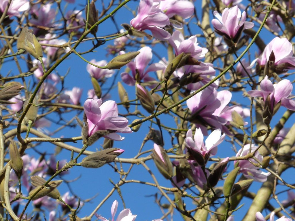 Magnolia sprengeri var elongata 1985.0245 A