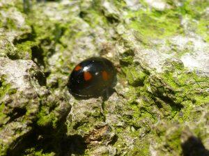 Pine Ladybird on beech bark, 12 March