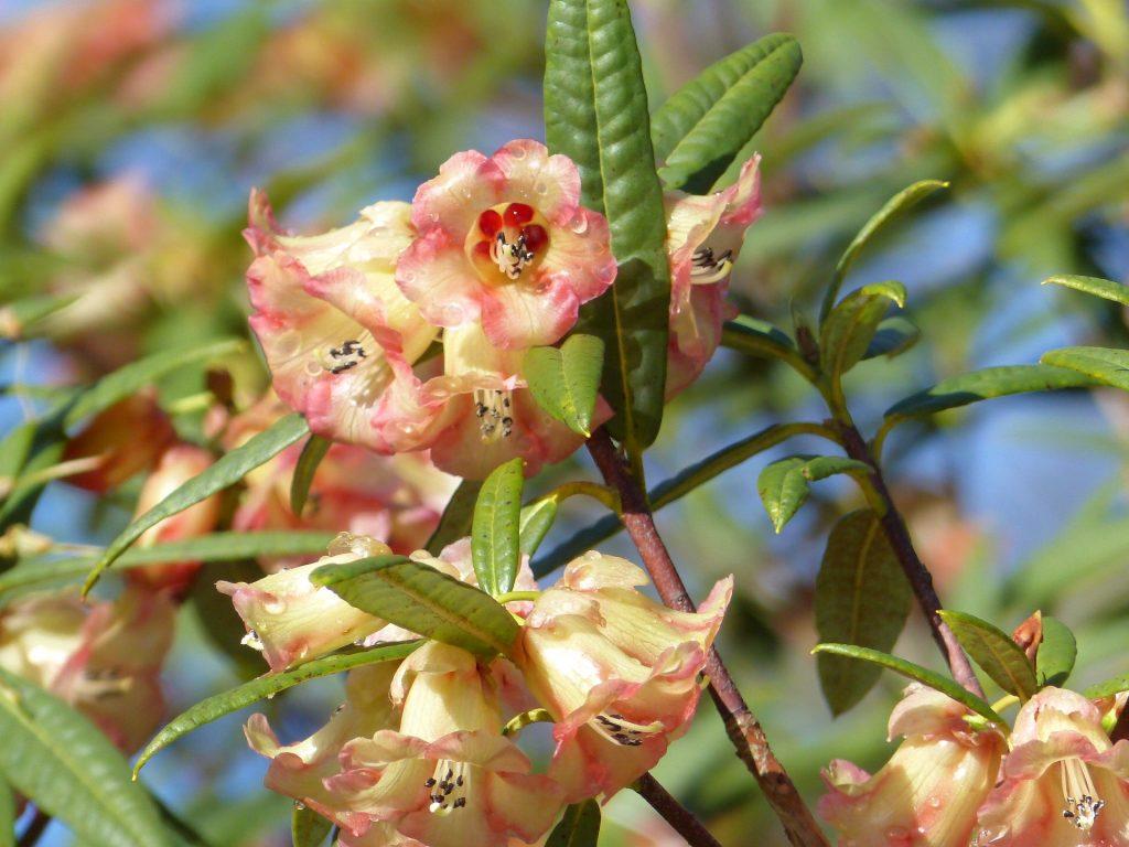 Rhododendron floccigerum 19491016 A