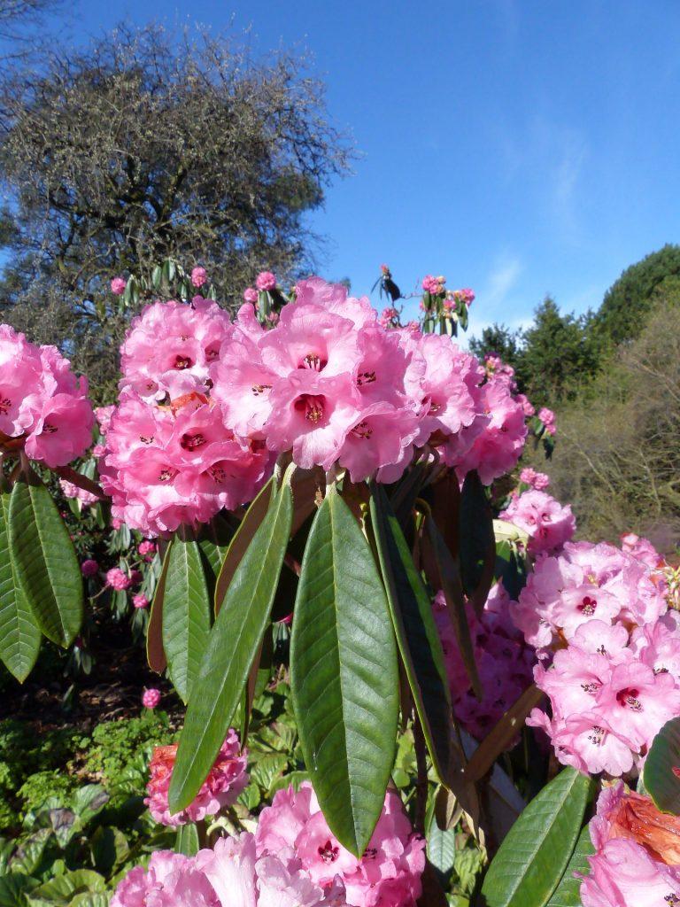 Rhododendron lanigerum 1929.1008 F
