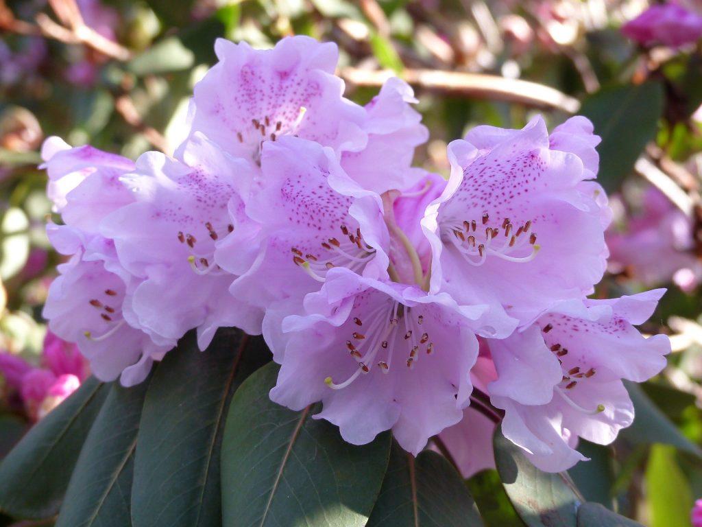 Rhododendron oreodoxa var fargesii 1969.8565 A