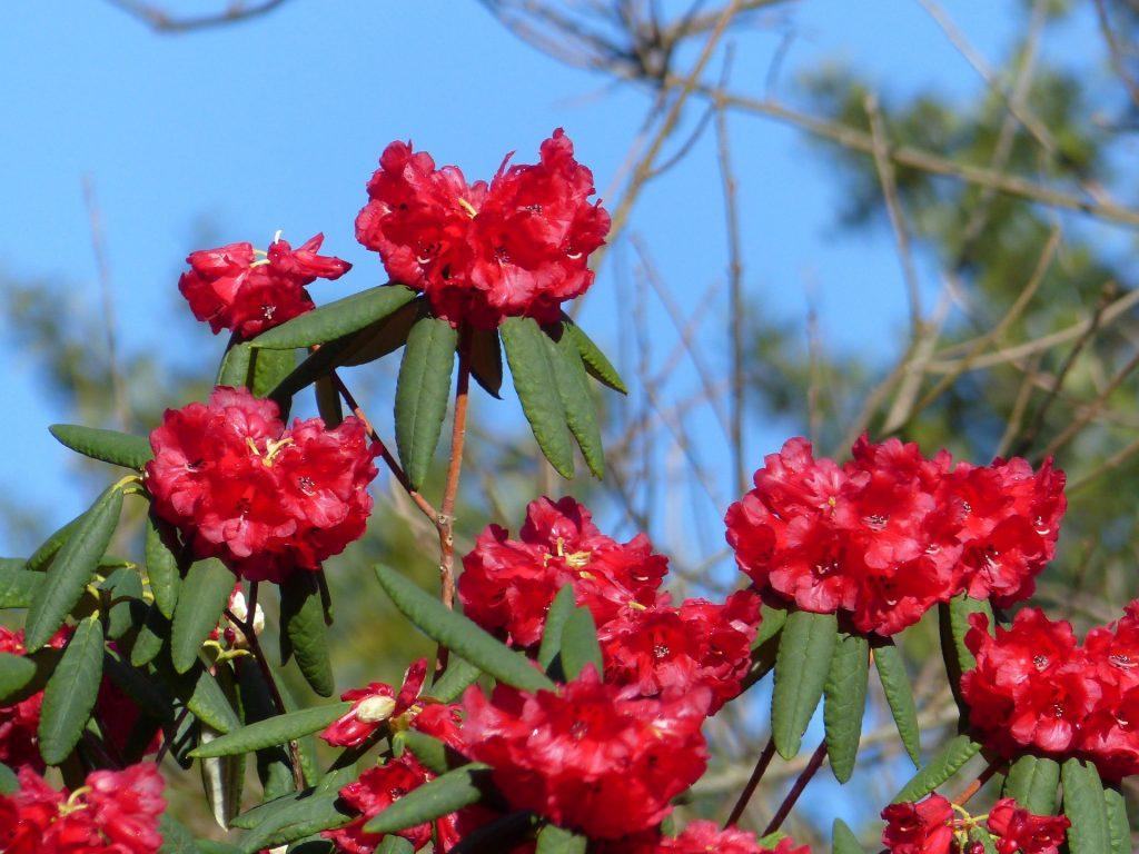 Rhododendron sperabile var weihsiense 1971.5016 A