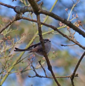long tailed tit, spotted in the copse