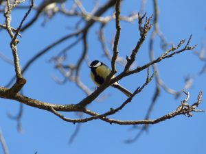 Male great tit. Spotted in a Castanea sativa