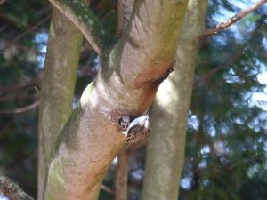 Treecreeper. Spotted on a Magnolia on the conifer walk.